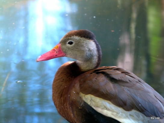 Anat Black-bellied Whistling Duck (Dendrocygna autumnalis) by Lee at Palm Beach Zoo