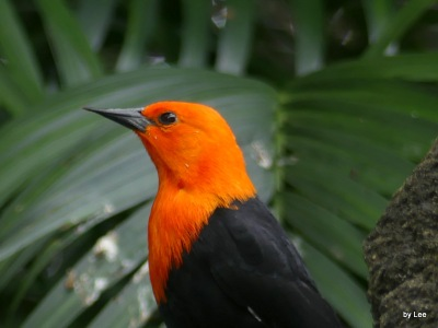 Scarlet-headed Blackbird at Zoo Miami by Lee