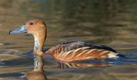 Fulvous Whistling Duck (Dendrocygna bicolor) ©WikiC