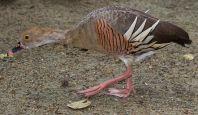 Plumed Whistling Duck (Dendrocygna eytoni) ©WikiC.