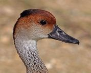 West Indian Whistling Duck (Dendrocygna arborea) ©WikiC
