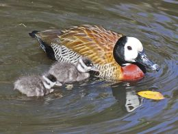 Sunday Inspiration – Whistling, White-backed Ducks, andGeese