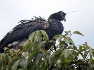 Horned Screamer (Anhima cornuta) ©WikiC