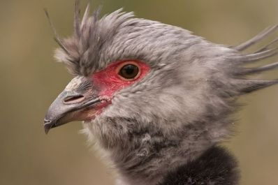 Southern Screamer (Chauna torquata) Closeup of head ©WikiC