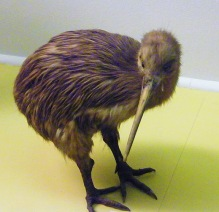 North Island Brown Kiwi (Apteryx mantelli) ©WikiC