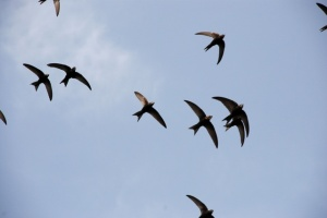 commonswift-flock-in-air
