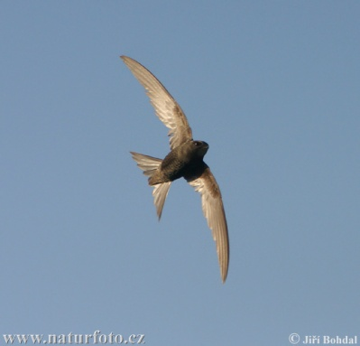 commonswift-jiribohdal-photo