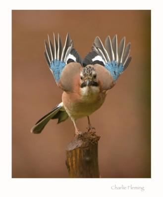 eurasian-jay-by-charliefleming