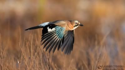 eurasian-jay-in-flight-lennart-hessel-eurasian
