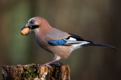 Eurasian Jay (Garrulus glandarius) with acorn in beak, Lower Saxony, Germany