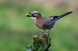 EURASIAN JAY:  'JAY OF THE OAKS' ADMIRED IN FINLAND