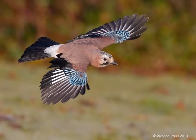 eurasianjay-in-flight