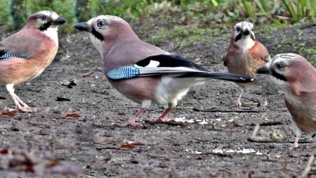eurasianjays-from-youtube-by-pauldinning