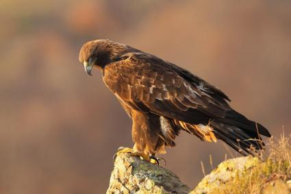 goldeneagle-perching-wildechotours
