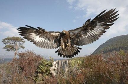 goldeneagle-swooping-down-netns-wildlifezone