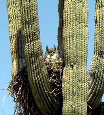 Owl in the Desert ©Alan Dommy