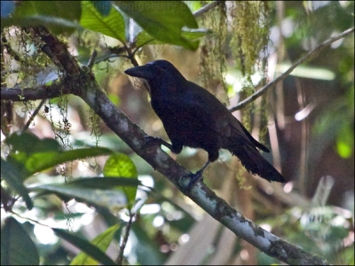 New Caledonian Crow (Corvus moneduloides) by Ian Montgomery