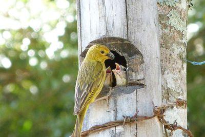 Saffron Finch (Sicalis flaveola) Female ©WikiC