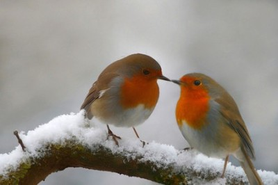 Robins in Snow ©Deanna Greens