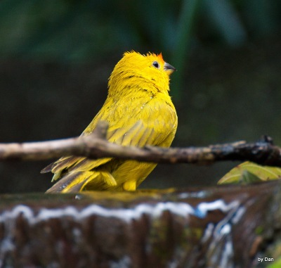 Saffron Finch Zoo Miami by Dan (Cropped by Lee)