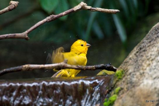 Saffron Finch Zoo Miami by Dan