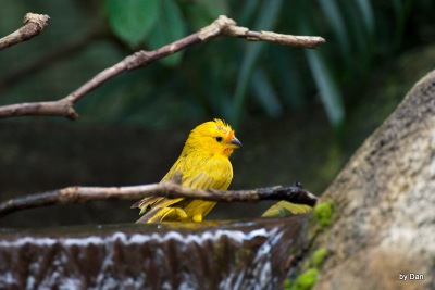 Saffron Finch Zoo Miami by Dan