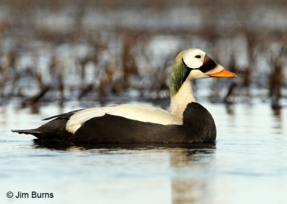spectacled-eider-male-jimburns