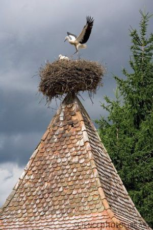 Stork At Their Nest ©Science Photo Library