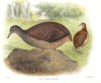 Slaty-breasted Tinamou (Crypturellus boucardi) ©WikiC Drawing