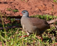 Small-billed Tinamou (Crypturellus parvirostris) ©WikiC