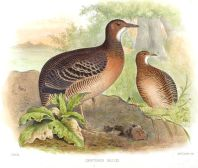 Thicket Tinamou (Crypturellus cinnamomeus) ©WikiC Drawing