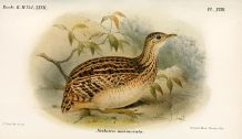 White-bellied Nothura (Nothura boraquira) ©WikiC Drawing