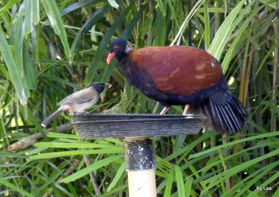 Pheasant Pigeon (Otidiphaps nobilis) (Green-naped) Zoo Miami by Lee