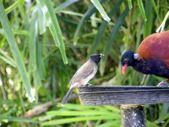 Pheasant Pigeon (Otidiphaps nobilis) (Green-naped) Zoo Miami by Lee
