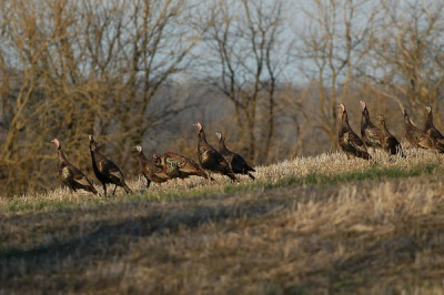 Wild Turkey (Meleagris gallopavo) Flock ©OhioDNR