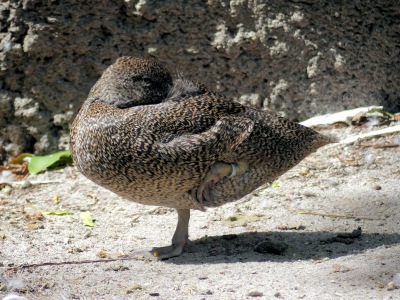 Freckled Duck (Stictonetta naevosa) by Lee at Zoo Miami
