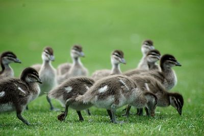 Maned-Australian Wood Duck (Chenonetta jubata) Ducklings ©WikiC
