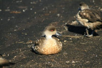 Crested Duck (Lophonetta specularioides) ©WikiC