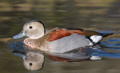 Ringed Teal (Callonetta leucophrys ©WikiC