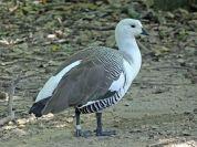 Upland Goose (Chloephaga picta) ©WikiC
