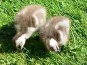 Upland Goose (Chloephaga picta) Chicks ©Wiki