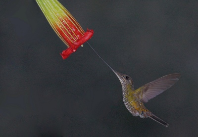 Sword-billed Hummingbird (Ensifera ensifera) ©Flickr Gregory Slobirdr Smith