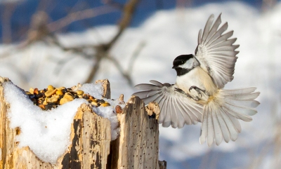 chickadee-blackcapped-approaching-birdseed