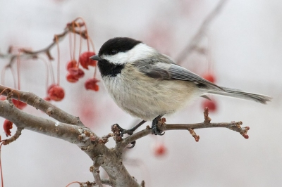 chickadee-blackcapped-berries