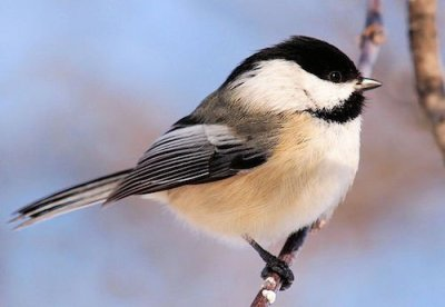 chickadee-blackcapped-perching-wikipedia