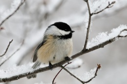 Tiny  Yet  Tough:  Chickadees  Hunker  Down for Winter