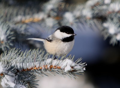 Black-capped Chickadee on snowy conifer