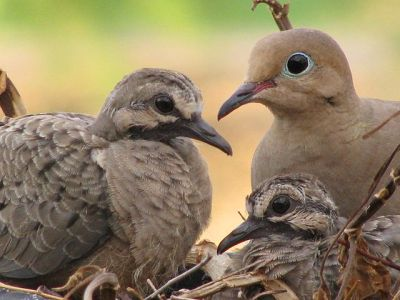 Mourning Collared Dove (Streptopelia decipiens) With Young ©WikiC
