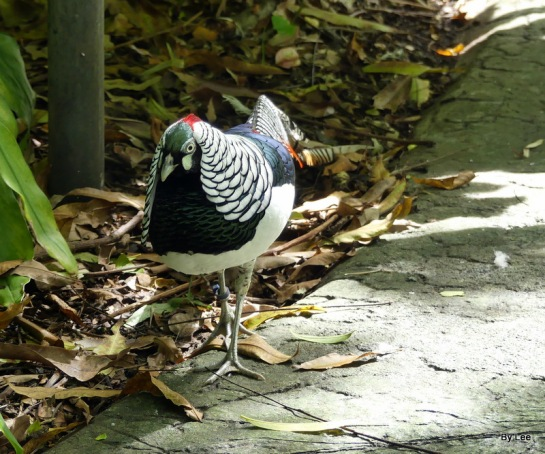 Lady Amherst's Pheasant (Chrysolophus amherstiae) Zoo Miami by Lee