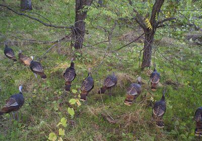 WildTurkey(Meleagrisgallopavo) Flock ©WikiC